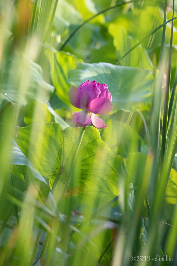 Lotus through the leaves