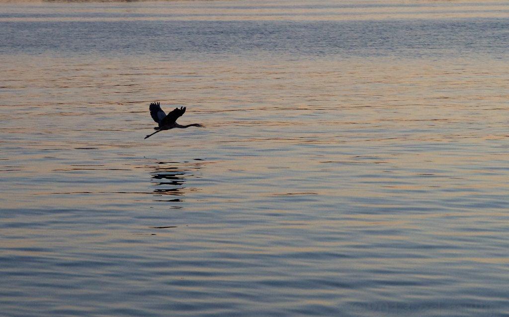 Heron in flight @ Coronado Bridge`