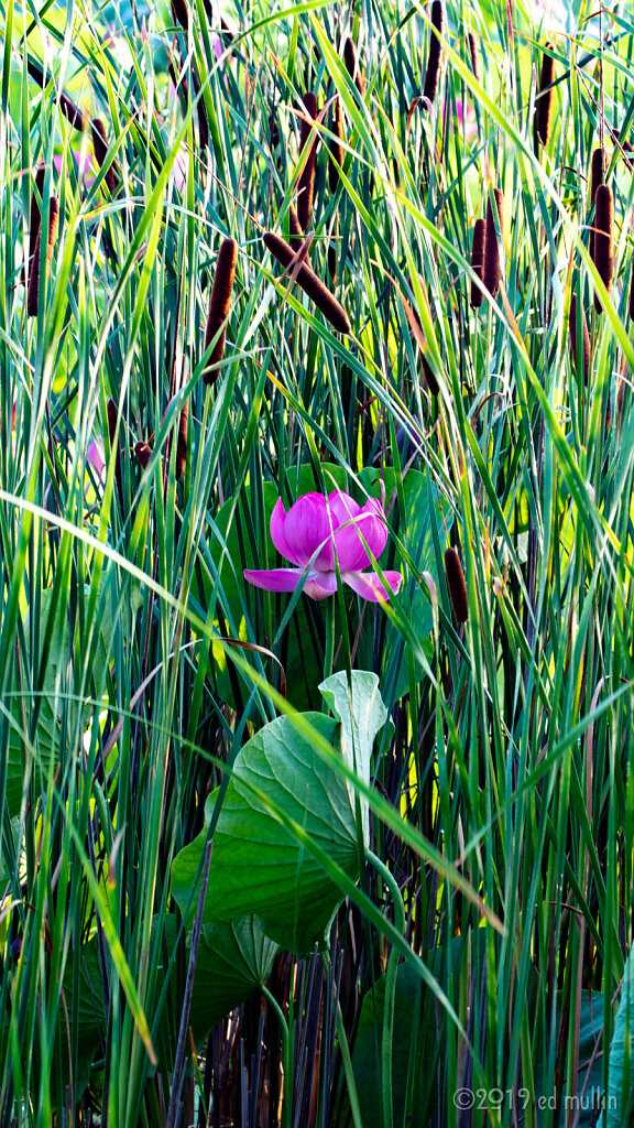 lotus in the cattails